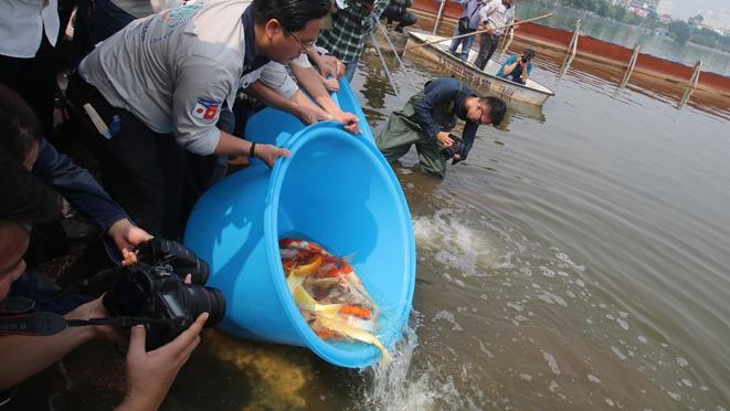 Hà Nội: Thả cá Koi Nhật Bản xuống sông Tô Lịch và Hồ Tây để đo độ trong sạch của nước