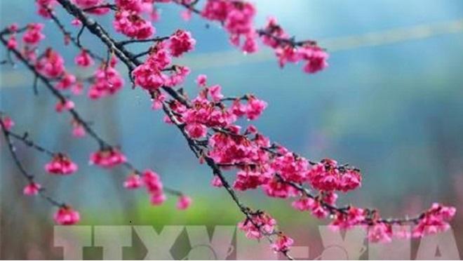 Lễ hội hoa Anh Đào - Mai vàng Yên Tử