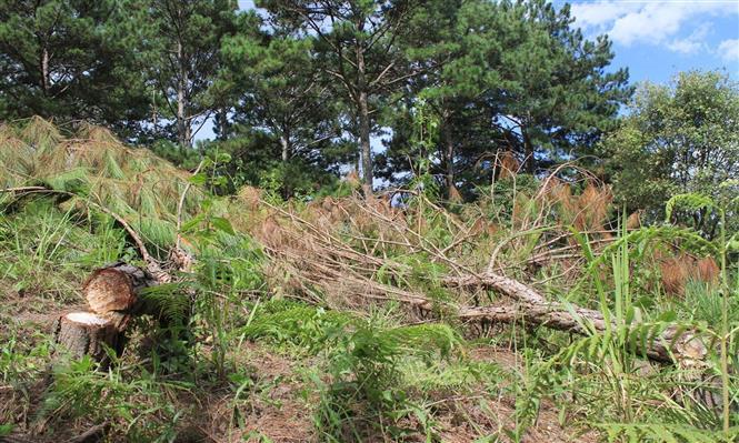 Rừng tại Lâm Đồng bị chặt phá