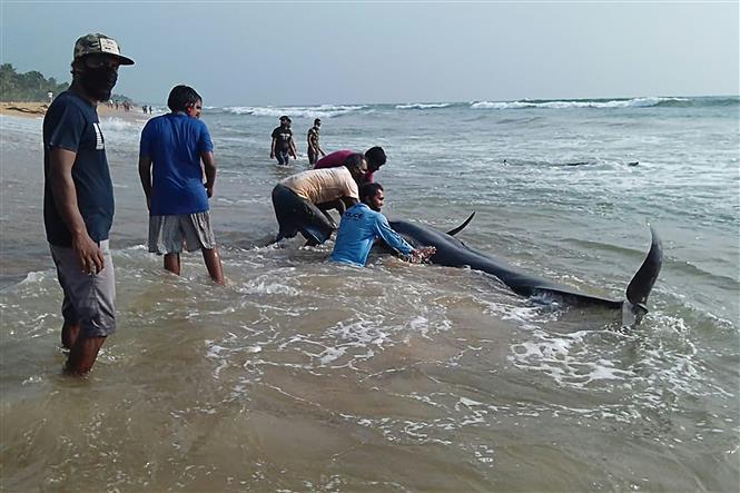 Trong ảnh: Các tình nguyện viên giải cứu cá voi hoa tiêu bị mắc cạn tại bãi biển Panadura, cách thủ đô Colombo của Sri Lanka 25 km về phía Nam, ngày 2/11/2020. Ảnh: AFP/TTXVN